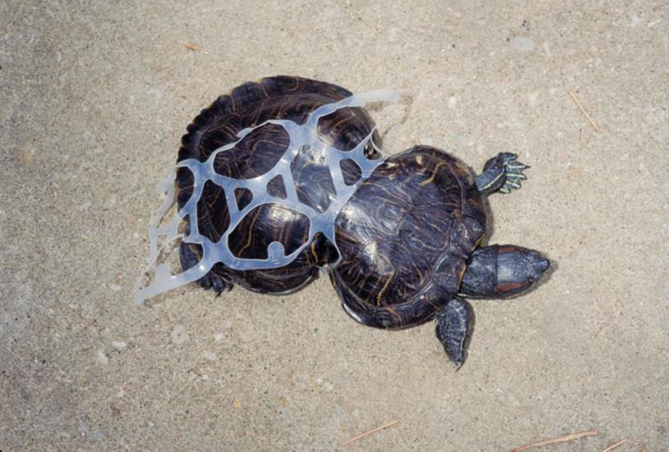 Eine Schildkröte mit Plastik um ihren Körper